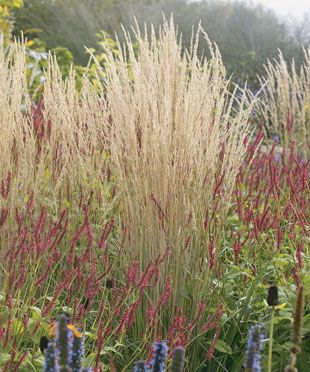 55 best images about karl foerster in my garden on pinterest for Ornamental grass that looks like wheat