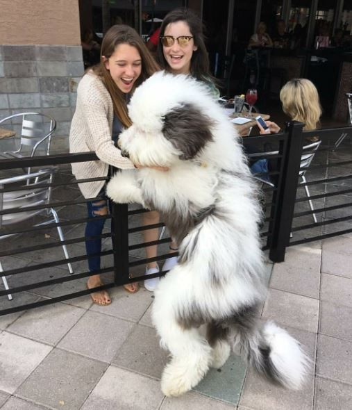 Loving this huge fluffy Sheepadoodle