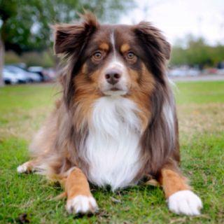 Pastor australiano perros de perrito australiano - El Pastor Ganadero Australiano es un perro boyero originario de Australia. En comparación con otras razas su historia está muy bien documentada, pues es relativamente reciente