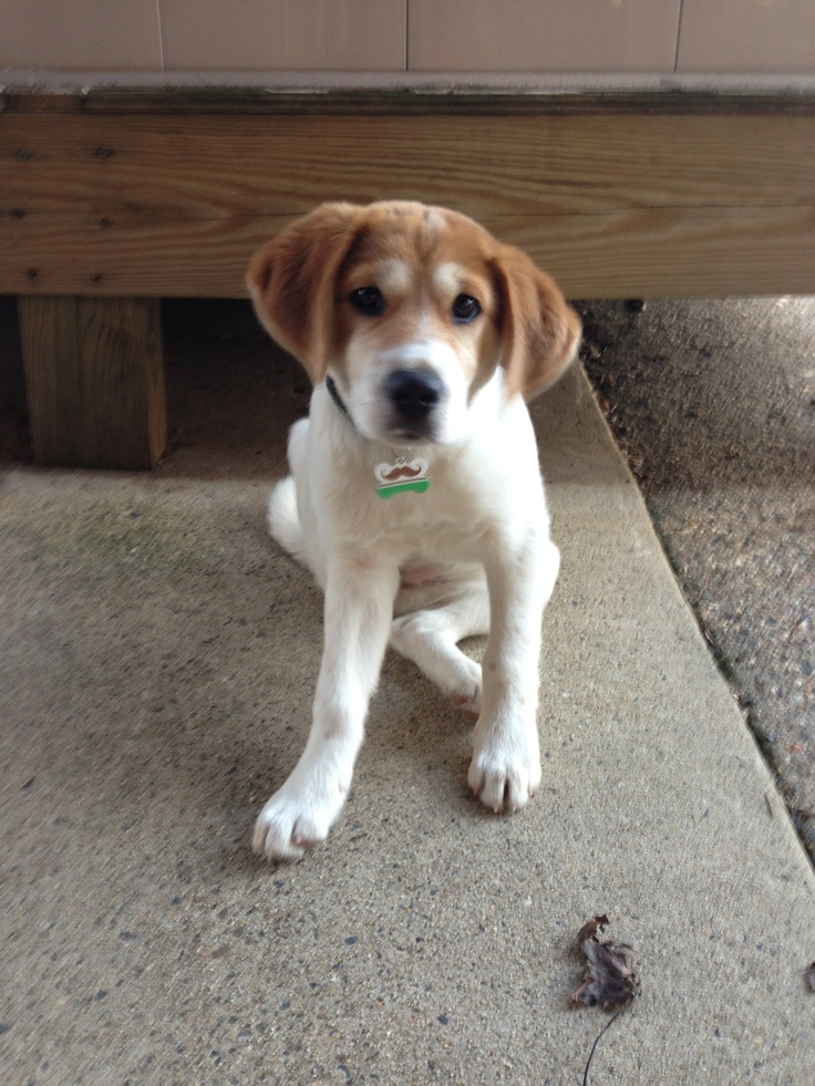 white beagle lab mix puppies