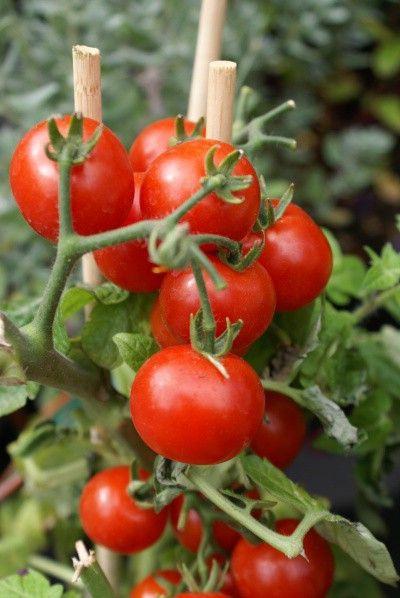 rajčata u tyčky
