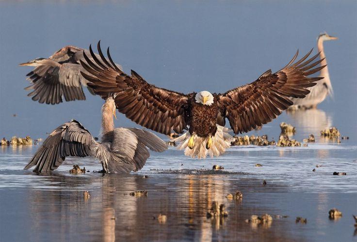 Белоголовый орлан и большая голубая цапля. Сибек, Вашингтон, США. Фотограф: : BONNIE BLOCK/AUDUBON PHOTOGRAPHY AWARDS