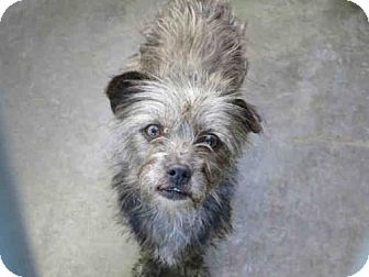 Orange, CA - Cairn Terrier Mix. Meet PEPPER, a dog for adoption. http://www.adoptapet.com/pet/17318510-orange-california-cairn-terrier-mix