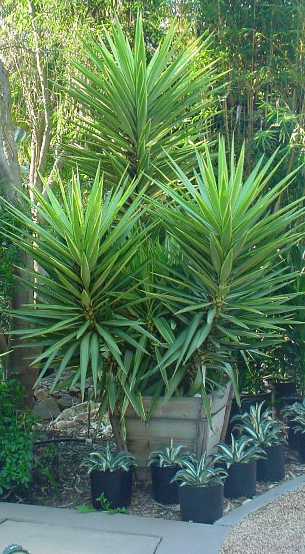 Yucca Aloifolia Palm Tree Types Garden Design
