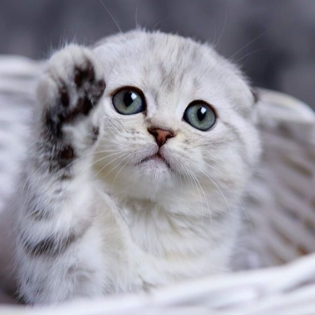 If Your Kitten Has Blue Eyes They Might Not Stay That Color Reserved Like Some Human Babies All Kittens Are Born With Blue Eyes T In 2020 Kitten Human Babies Kittens
