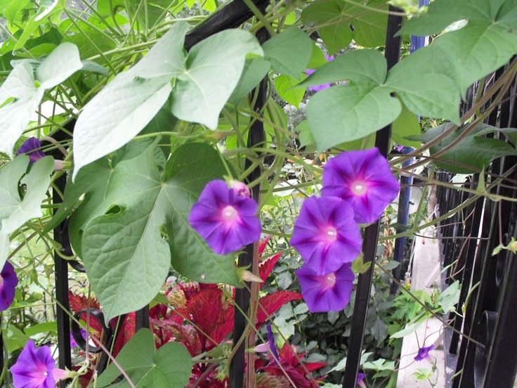 Morning Glories climbing my front porch...I love these flowers