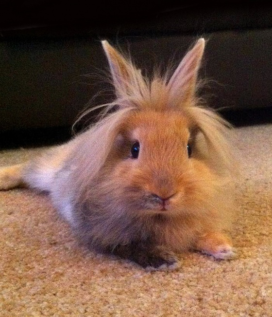 Why does it have Bret Michaels hair?!?: Cute Hair Style, Bret Michael, Long Hair,  Angora Rabbit, Ears, Lionhead Rabbit, Animal, Guinea Pigs, Bunnies Haring