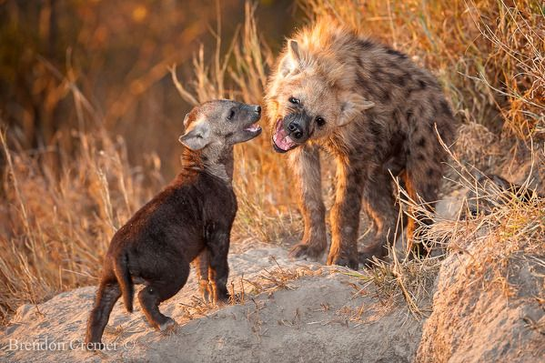 Siblings Play by Brendon Cremer  A sub Adult and a cub play at the mouth of their den late one evening as the sun sets on another great day. Sabi sand game reserve, South Africa.