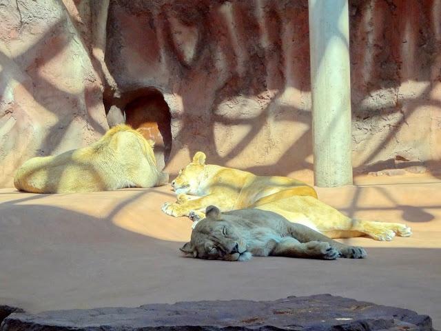 The Lions sleep today - Zoo Erfurt