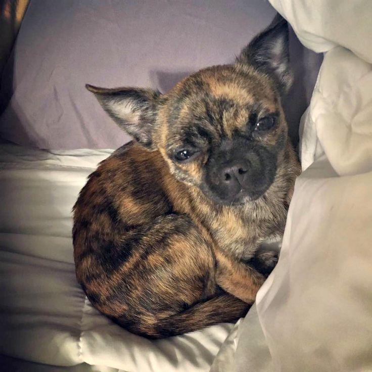 Chihuahua Pug Mix Adoption Pug Mix Cute Dogs Cute Animals
