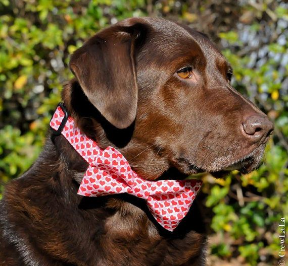 Fantastic Valentine Bow Adorable Dog - 99617d1aa98badc7b9b7fe605dab4b7b--dog-bow-ties-dog-bows  Snapshot_311310  .jpg