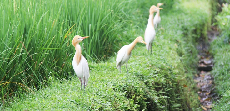 After soaring in the sky and perching on trees, these heron birds now find a playground among Bali's green paddy fields