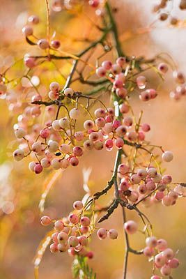 PETTIFERS GARDEN, OXFORDSHIRE, IN AUTUMN: PINK BERRIES OF SORBUS VILMORINII