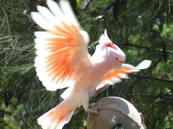 Major Mitchell Cockatoo #Australia #Birds