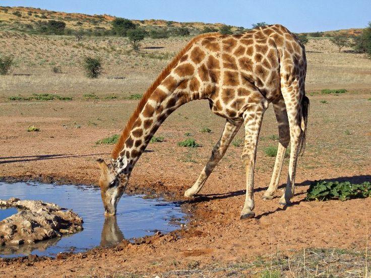 84 best JIRAFA images on Pinterest Giraffe, Giraffes and Wild - griffe für küche