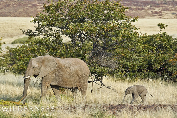Desert Rhino Camp - Desert elephant can be seen in the area. #Safari #Africa #Namibia #WildernessSafaris
