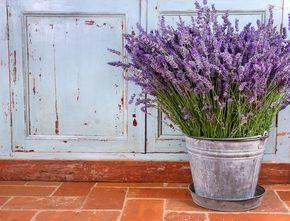 Come coltivare la lavanda in vaso: guardate che bel vaso di lavanda fiorita