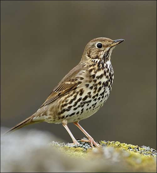 Lijster - Song Thrush, the consummate song bird. Bringing joy whilst foraging for red berries.