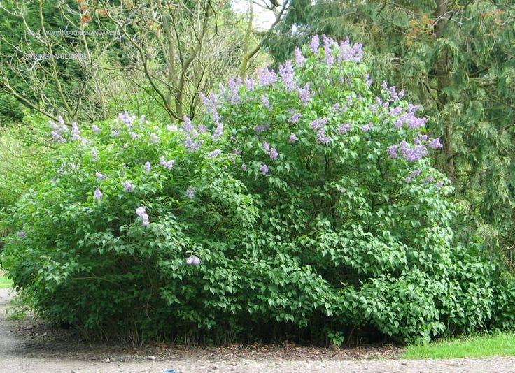 Syringa vulgaris 'Andenken an Ludwig Späth', forse struik, bloeit mei met lila met langwerpige pluimen.