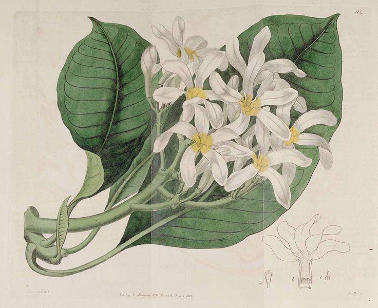 97028 Plumeria rubra L. [as Plumeria acuminata Aiton f.]  / Botanical Register, vol. 2: t. 114 (1816) [S. Edwards]