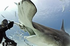 Hammerhead shark eats out of diver's hand   GrindTV.com~ An experienced diver ( Eli Martinez) who leads shark diving tours in the Bahamas took multiple trips and spent hours diving with hammerhead sharks in waters off Bimini Island, Bahamas, this winter before the sharks got used to his presence and became comfortable eating out of his hand.
