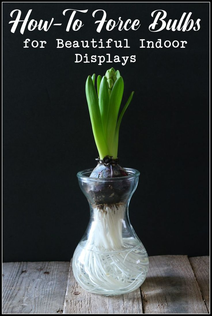 Guide for How-To Force Bulbs for Beautiful Indoor Displays - close up of hyacinth bulb