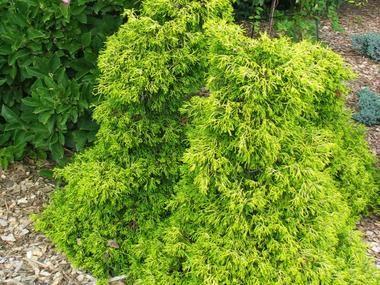 Cyprysik japoński 'Tsatsumi Gold' - Iglaki - Baza roślin - rosliny.urzadzamy.pl