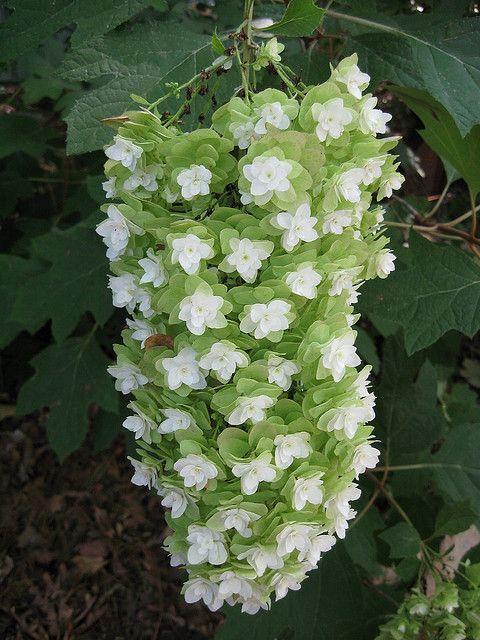 Shade plant...oak leaf hydrangea in full bloom  // Great Gardens & Ideas //
