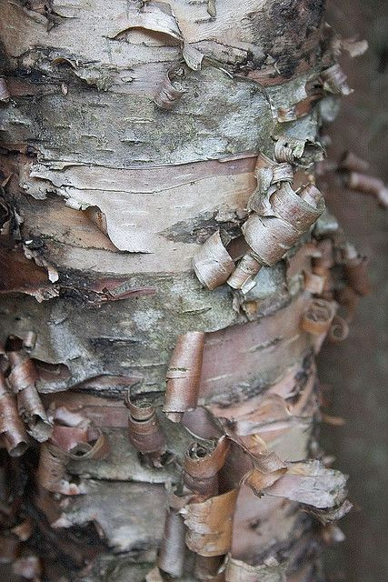 River Birch bark, great tree for finches they love the spring seeds. Kind of a messing tree(seeds, twigs). Plant it away from house