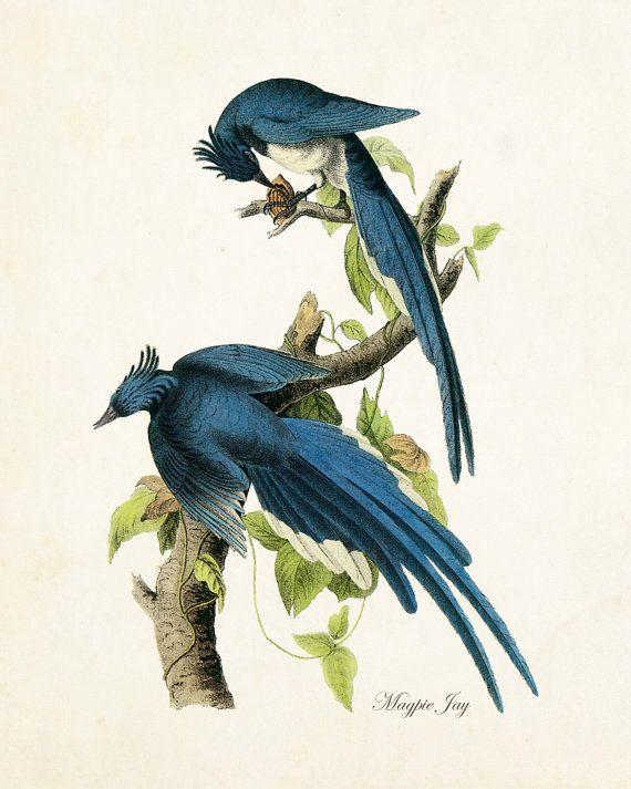 Vintage Audubon Magpie Jay  Giclee Canvas Print  by BelleBotanica