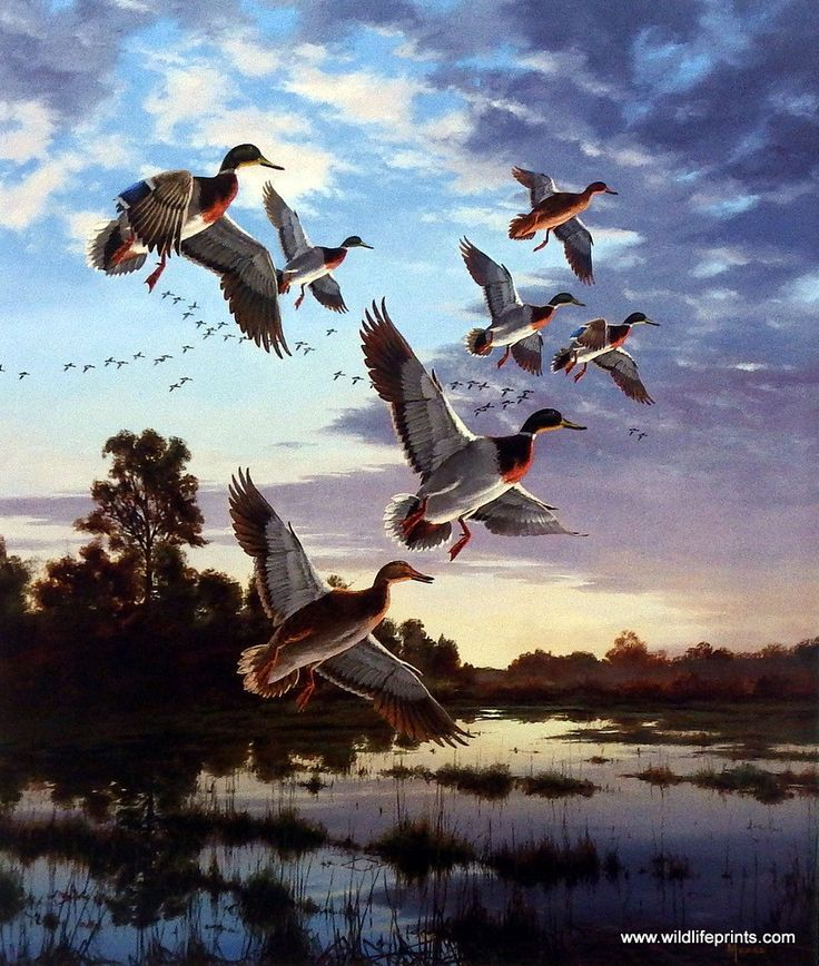 The sunset colors make a magnificent backdrop for the landing mallards in the David Maass print EVENING FLIGHT-MALLARDS. It's easy to see why this wildlife artist is so well respected for his painting