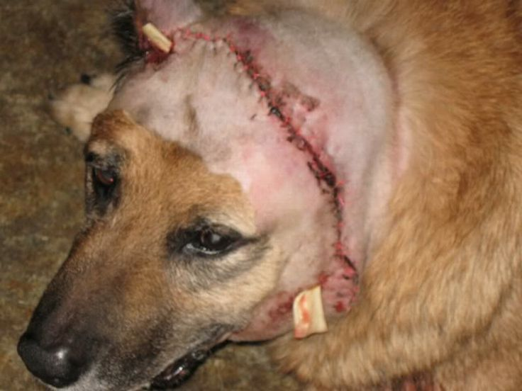 """A pit bull attacks Garth, a 12yo German Shepherd dog. In the first attack, it tears off his left ear, mauling his head and legs badly. The elderly dog struggles to recover. AC gives back the pit to the owner, so Garth's owners post a sign """"Pit bull next door"""" as a warning. AC furiously makes her change it to """"Dangerous dog next door."""" 2 months later, the pit mauls Garth to death. (July-Oct 2010, CA) http://www.terraforums.com/forums/showthread.php/123867-Neighbor-s-pit-bull-attacked-my-dog!"""