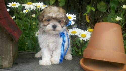 Maltipoo puppy small cute and fluffy.  Everything you'd want in a puppy!