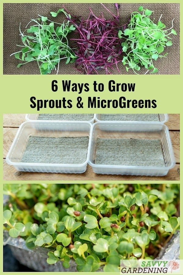 How To Grow Broccoli Sprouts Microgreens 6 Methods For Success