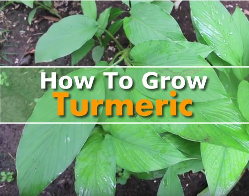 How To Grow Turmeric - is is classified as a superfood, thanks to its many…