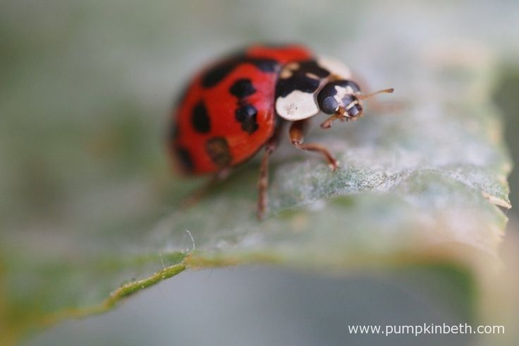 A ladybird resting on a Lathyrus odoratus leaf that has a covering of powdery mildew.