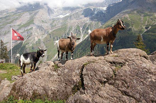 Schweizer Flagge, drei Bergziegen vor Traumkulisse der Schweizer Bergwelt
