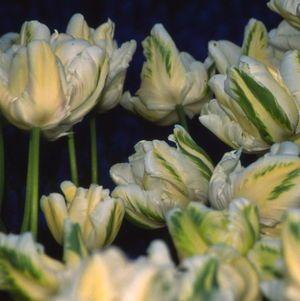 Tulipa - Madonna - Tulip Bulbs for sale