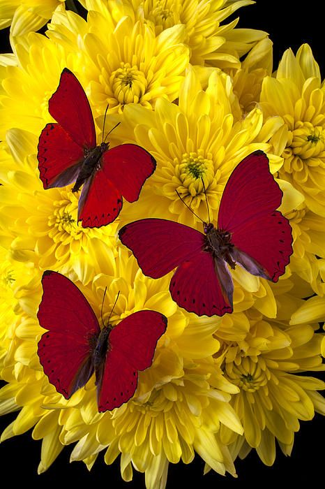 Three red butterflies: