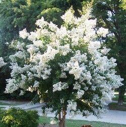 dwarf crepe myrtle varieties | Dwarf Crape Myrtle White - Longest Blooming Tree