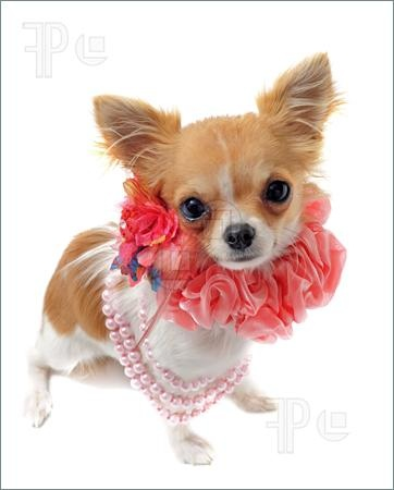 Photo of portrait of a cute purebred chihuahua