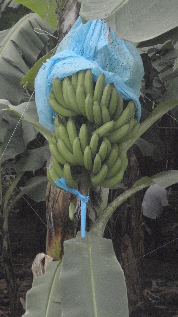 String of bananas plant care - Bananas Pineapple Growingbananasbonsaifruitbonsai Plantsbananastring Garden
