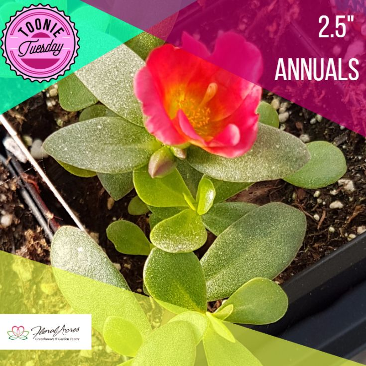We have another great Toonie Tuesday special for you! 2.5'' Annuals are on sale for only $2! THERE ARE SO MANY TO CHOOSE FROM! Come pick some up to fill in your planters for the summer months