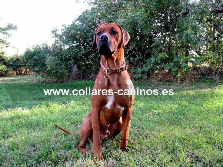 collar#cuero#ahorque  Collar cuero de ahorque perro Crestado Rodesiano - >  20,48 €