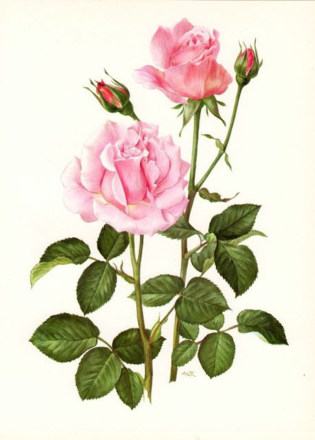 Pink Rose Wall Art Wall Decor, (Vintage Horticulture Book Plate) 1960s Botanical…