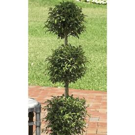 �2.25-Gallon Eugenia Topiary (L20938hp)