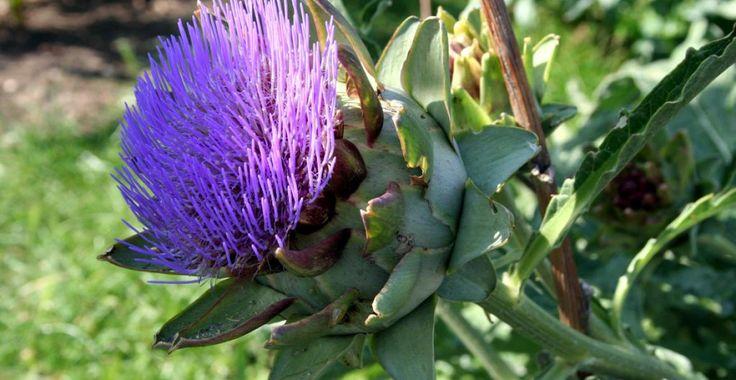 Anghinarea - planta care face minuni în afecțiunile hepatice | Paradis Verde