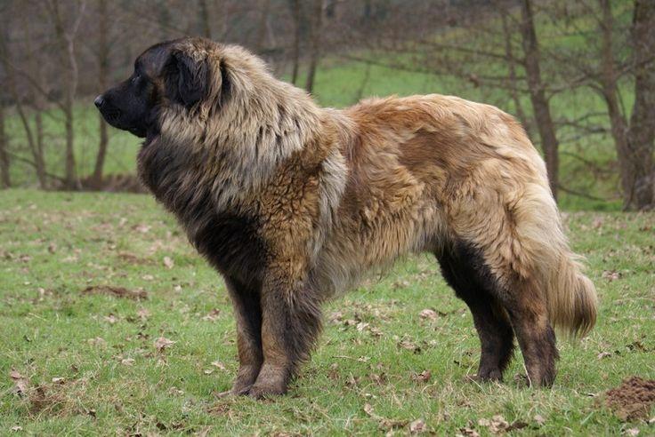 Эштрельская (португальская горная) овчарка