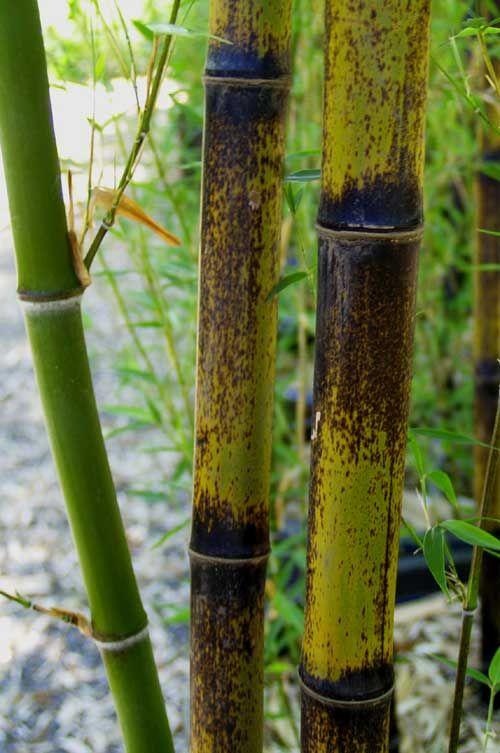 17 mejores ideas sobre phyllostachys nigra en pinterest jard n de bamb cultivo del bamb y - Cultivo del bambu ...