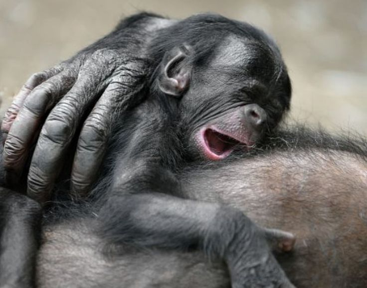 yawn!: Thoughts, Beds, Sleepy Baby, Ape, Black People, Baby Animal, Baby Photo, Primates, Sleepy Chimpanz